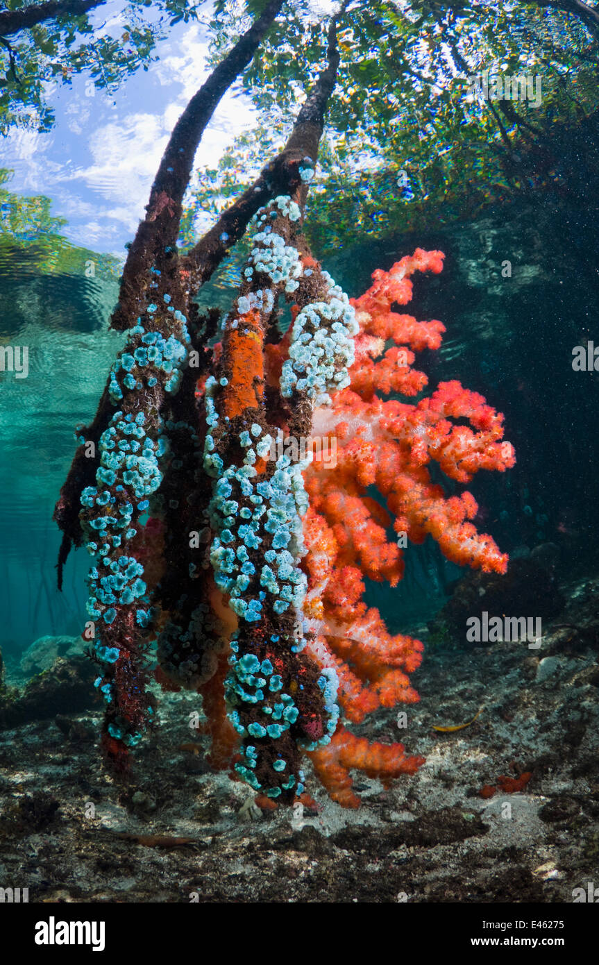 Soft coral and other invertebrates growing on mangrove roots (Rhizophora sp.) on the edge of coral reef. Raja Ampat, - Stock Image