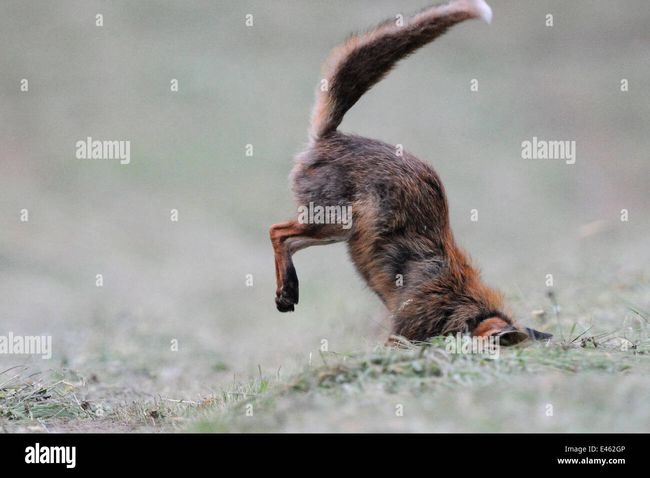 Red fox (Vulpes vulpes) hunting, head in hole, Vosges, France, June - Stock Image