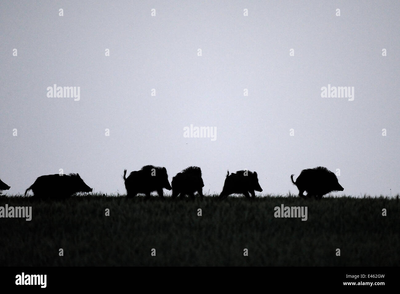 Group of Wild boar (Sus scrofa) silhouetted, Vosges, France, June - Stock Image