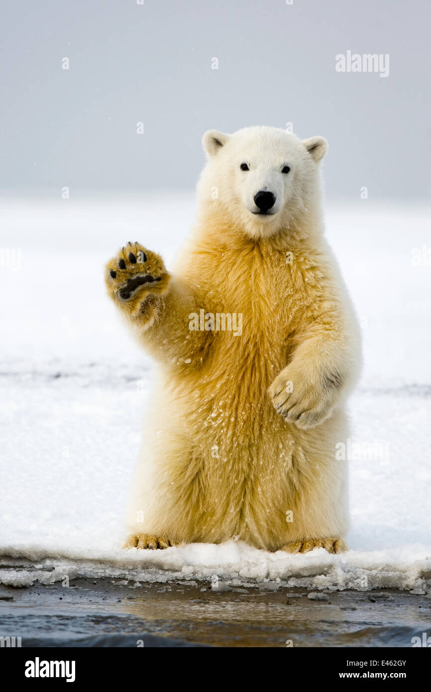 Polar bear (Ursus maritimus) curious cub sits up on its hind legs,  paw raised,  and tries to balance itself, along - Stock Image