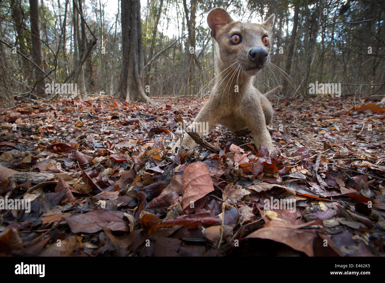 Adult Fossa (Crytoprocta ferox) female investigating automatic remote camera in leaf-litter. Kirindy Forest, western - Stock Image