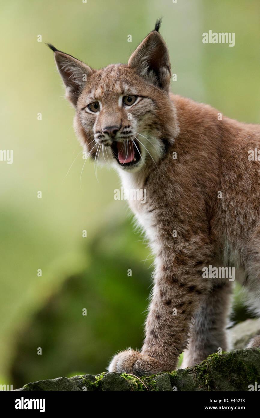 Lynx (Lynx lynx) cub calling. Hannau, Germany, September. Captive - Stock Image