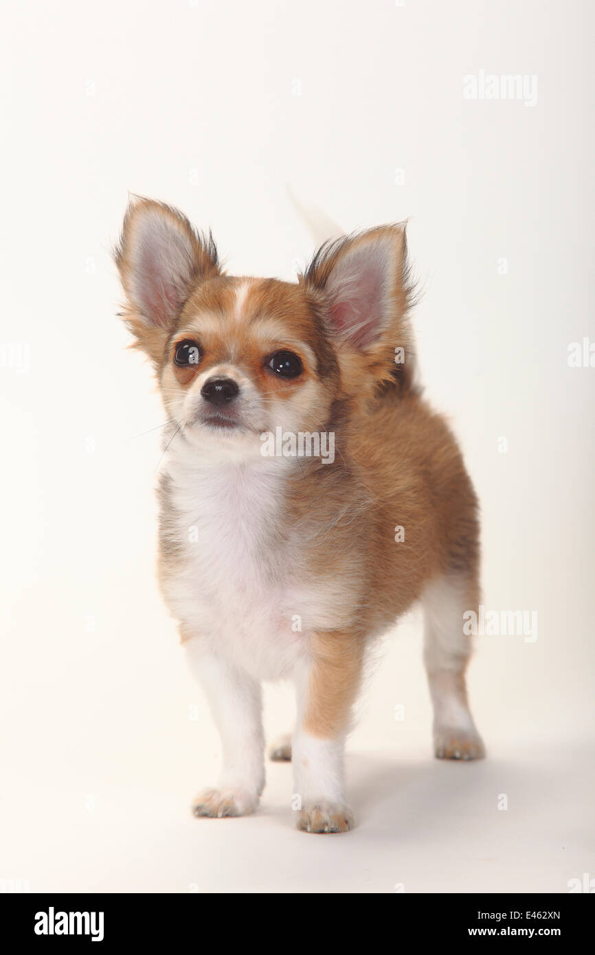 Chihuahua, longhaired puppy, 12 weeks. Stock Photo