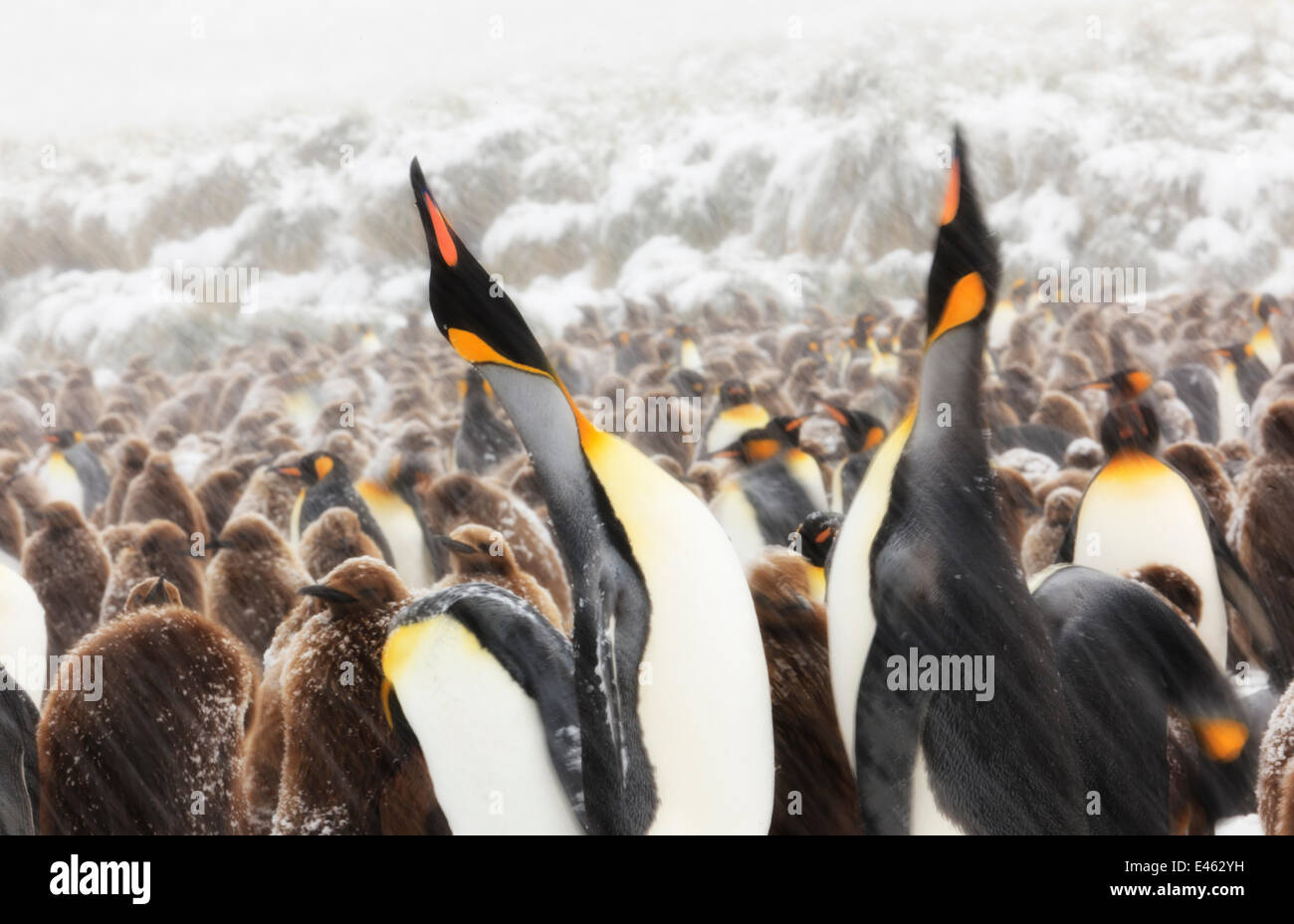 King Penguin (Aptenodytes patagonicus) parents calling and performing 'statue' display at colony. South - Stock Image