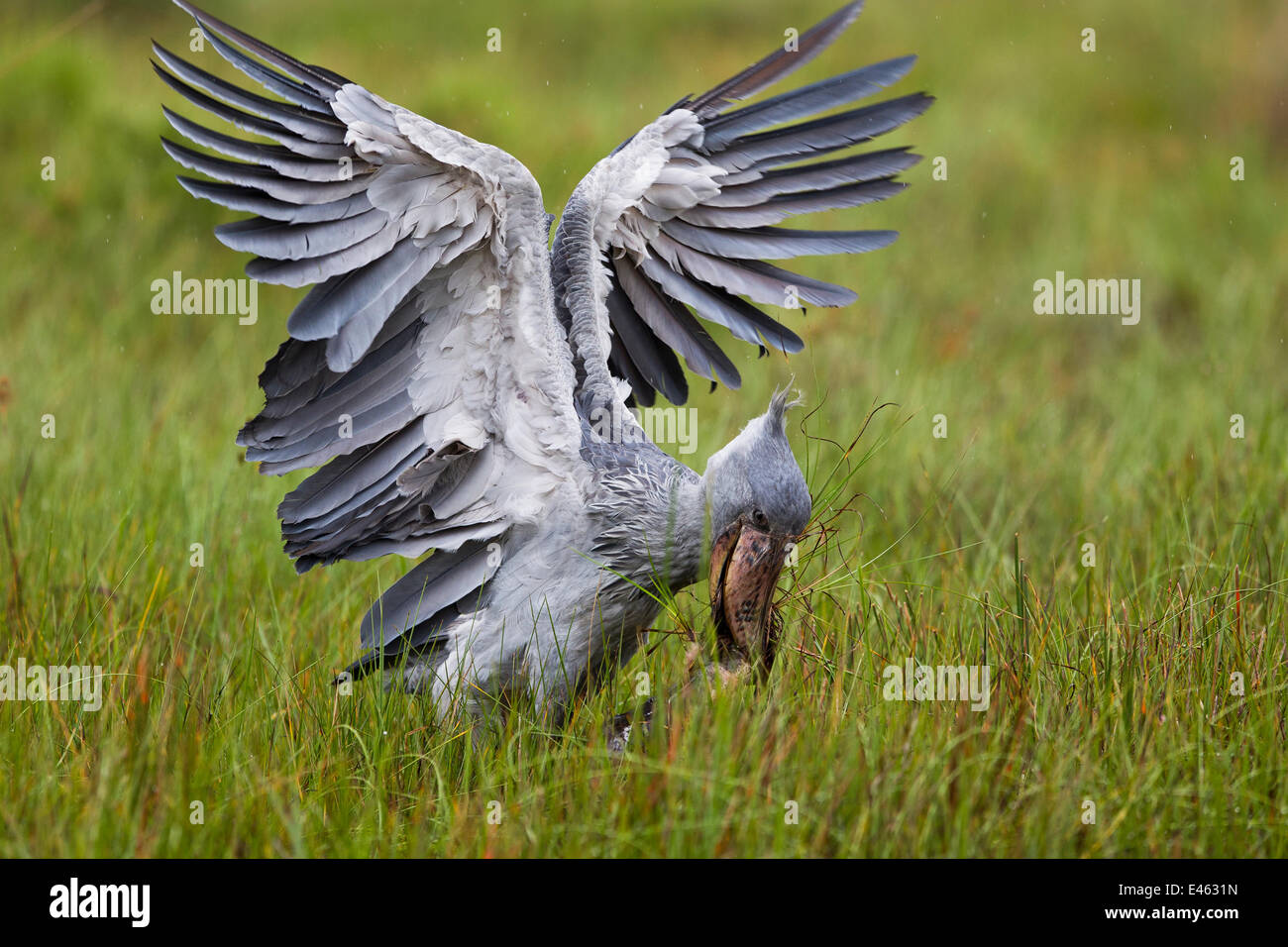 Whale headed / Shoebill stork (Balaeniceps rex) catching a Lungfish (Protoperus sp) in the swamps of Mabamba, Lake - Stock Image