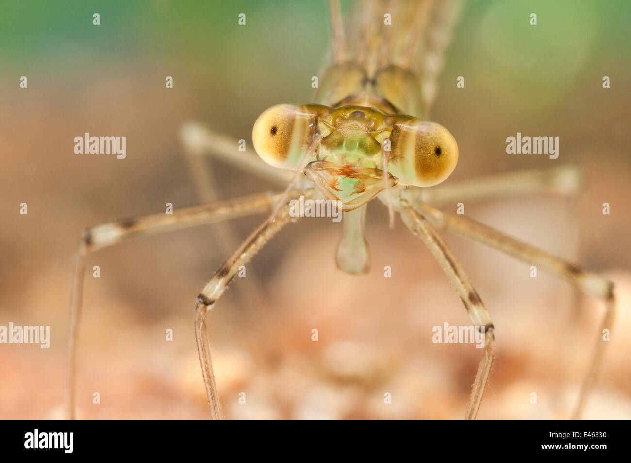 Spread-winged Damselfly (Lestidae) nymph portrait. Europe, July. - Stock Image