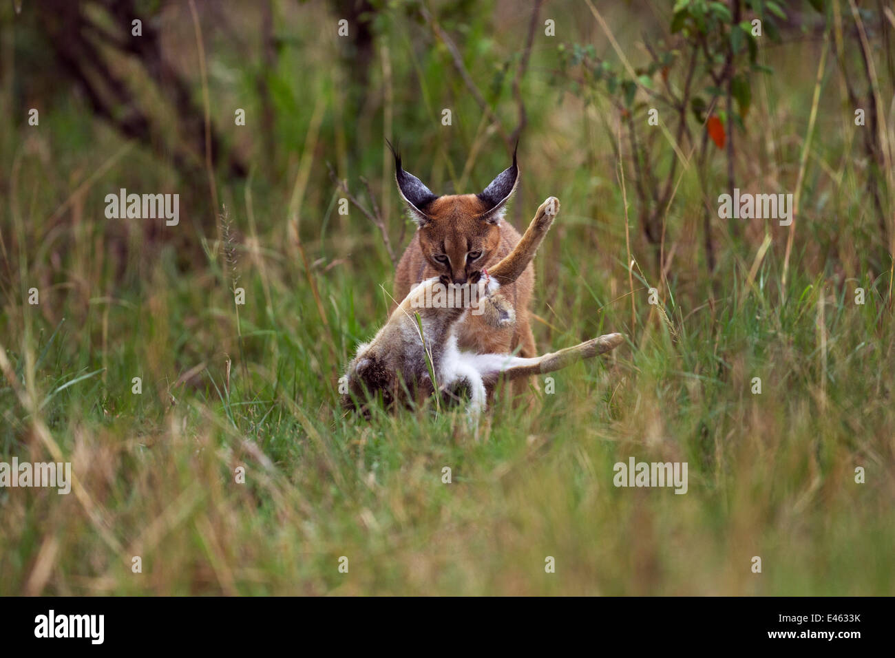 Caracal (Caracal caracal) six month kitten carrying an African hare that its mother has killed for it, Masai Mara - Stock Image