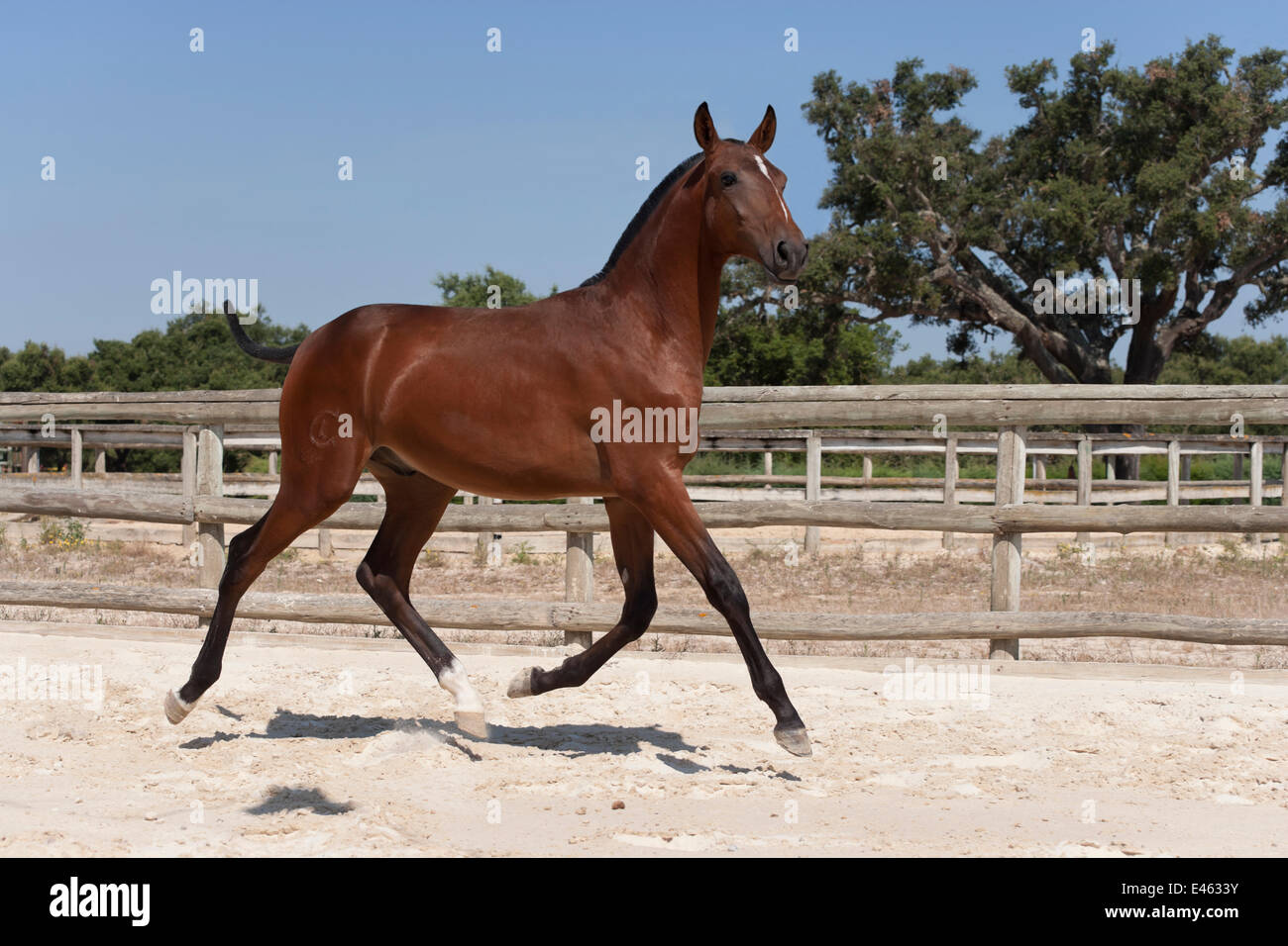 A purebred Lusitano colt (with his mane and tail cut to mark his first year) trotting in the arena at the Companhia - Stock Image