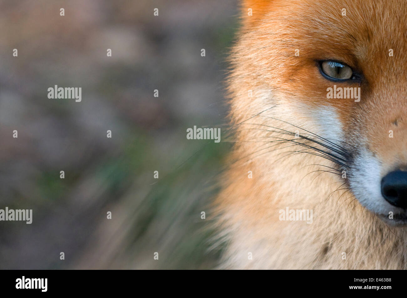 Red fox (Vulpes vulpes) close-up of half of face, captive - Stock Image