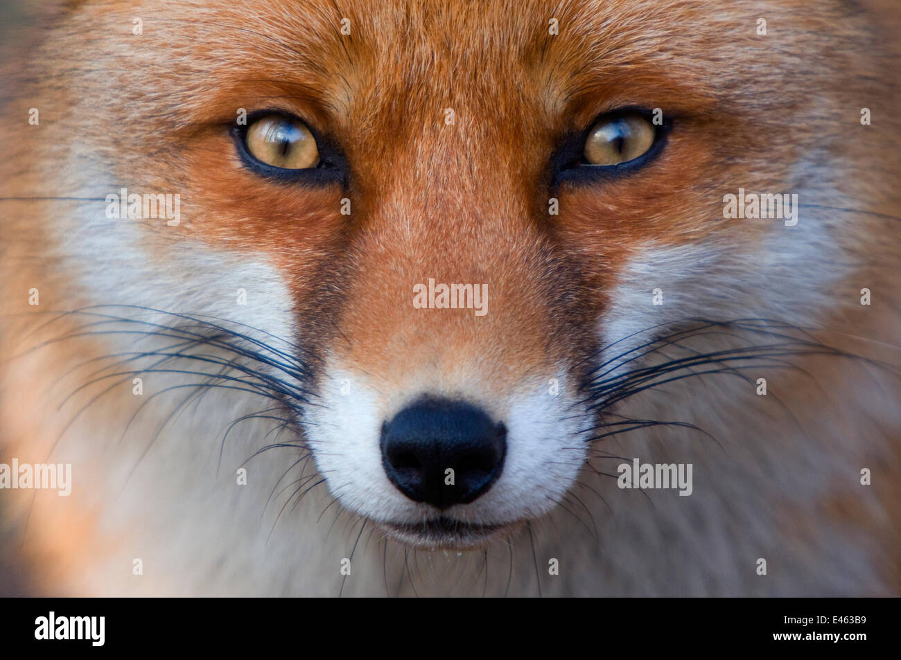 Red fox (Vulpes vulpes) portrait, captive - Stock Image