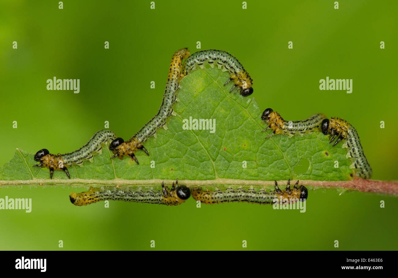 Birch Sawfly (Cimbex femoratus) feeding on a leaf. August, UK. Stock Photo