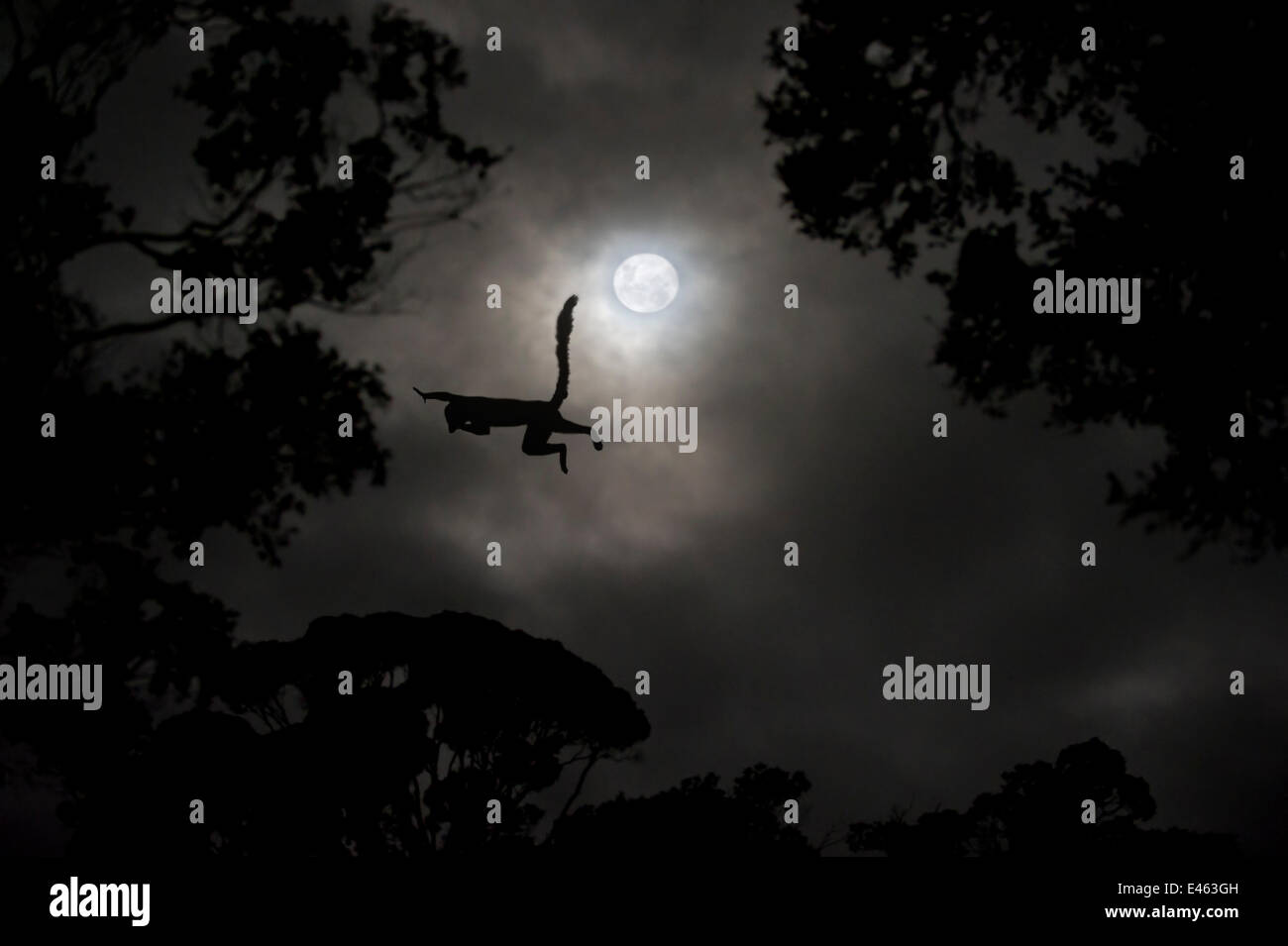 Silhouette of Red-fronted brown lemur (Eulemur rufus) leaping across gap in trees by moonlight, cathemeral behaviour, - Stock Image