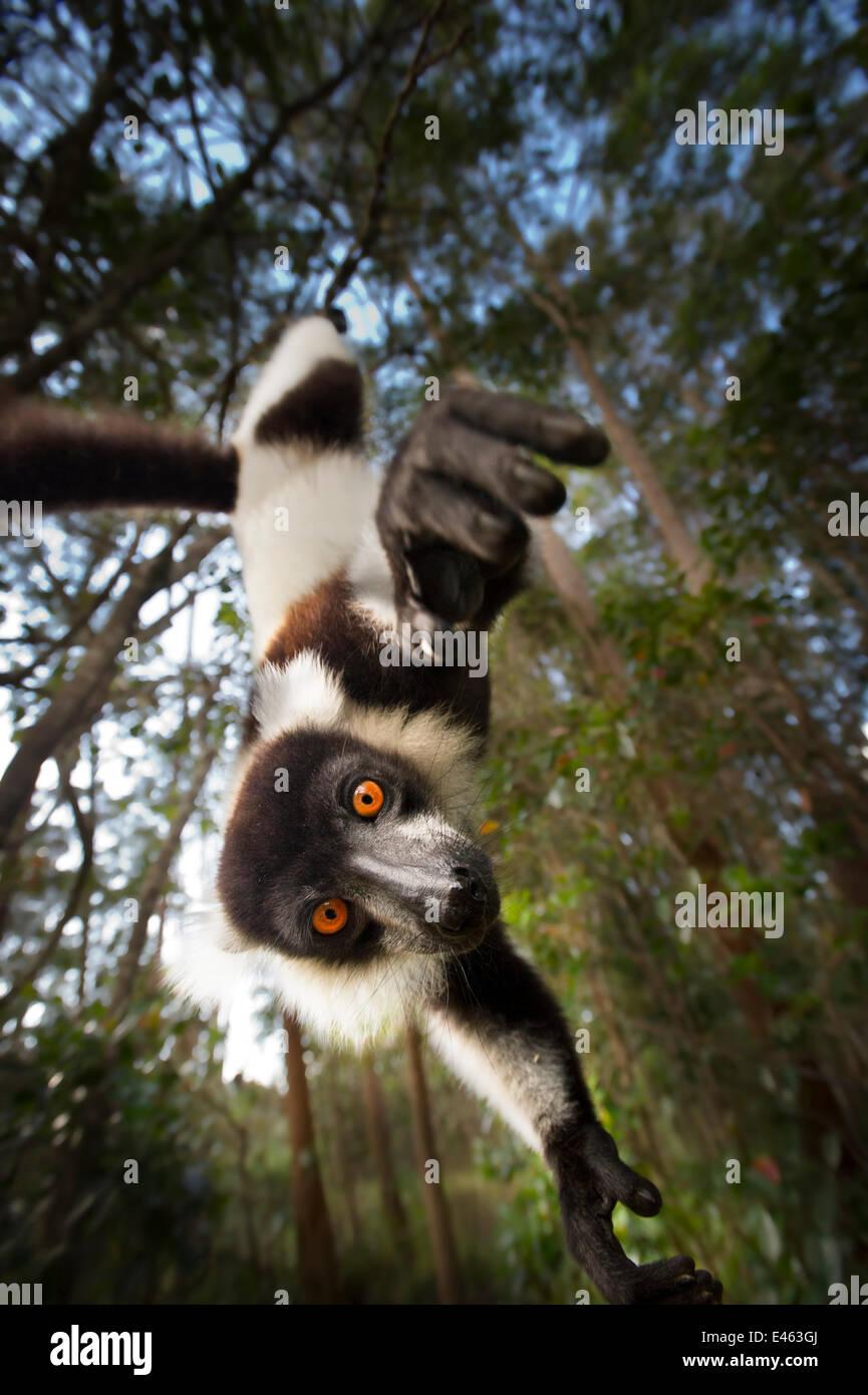 Black and white ruffed lemur (Varecia variegata) hanging from tree, Madagascar, critically endangered - Stock Image