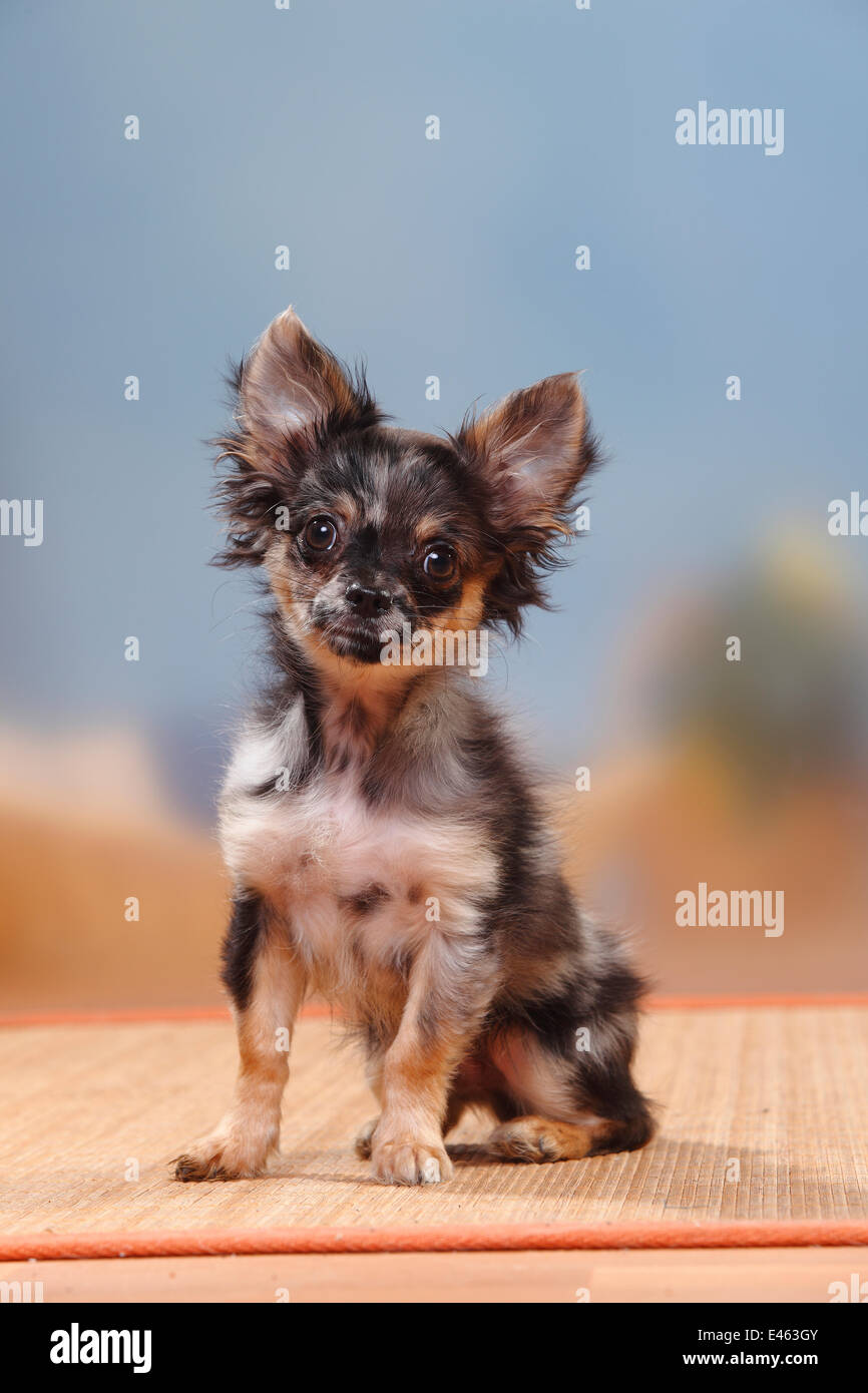 Longhaired Blue Merle Chihuahua Puppy 17 Weeks Stock Photo Alamy