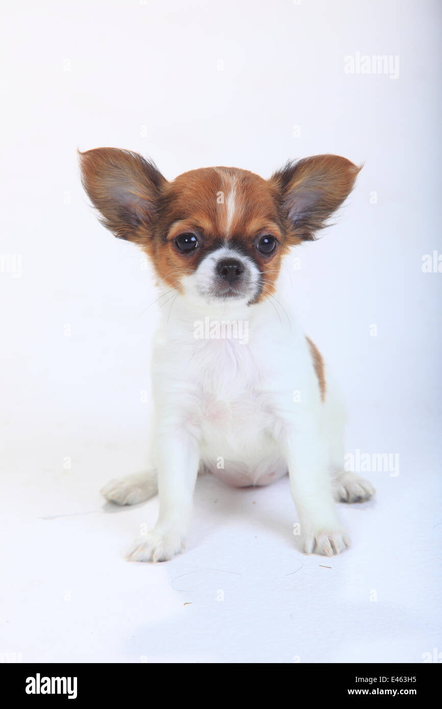 Chihuahua, longhaired puppy, 9 weeks, sitting portrait. - Stock Image