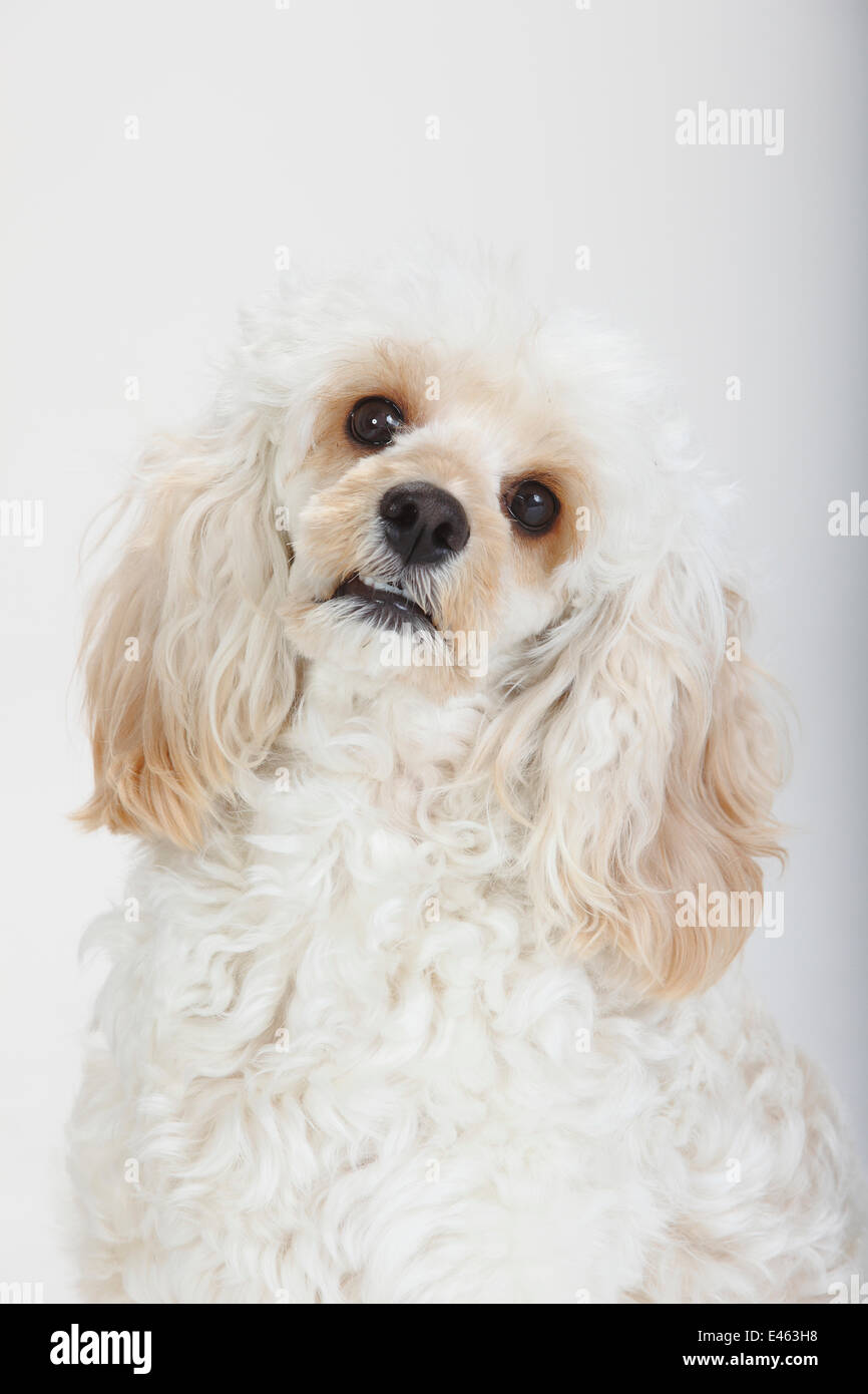 Mixed breed, white, long haired Cockerpoo /  Cockapoo dog, head portrait. Poodle Cocker spaniel cross, - Stock Image