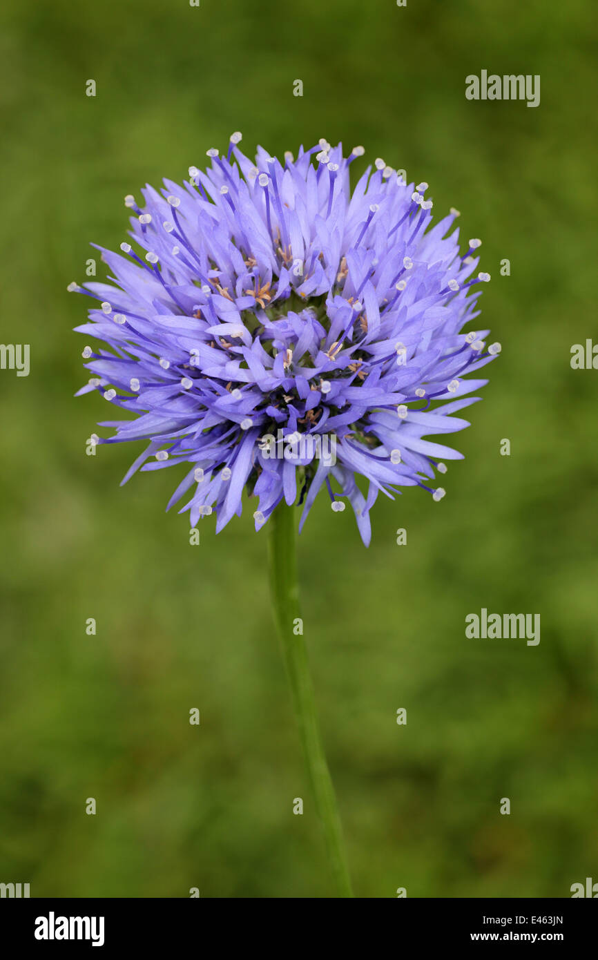 Sheep's-bit Jasione montana - Stock Image