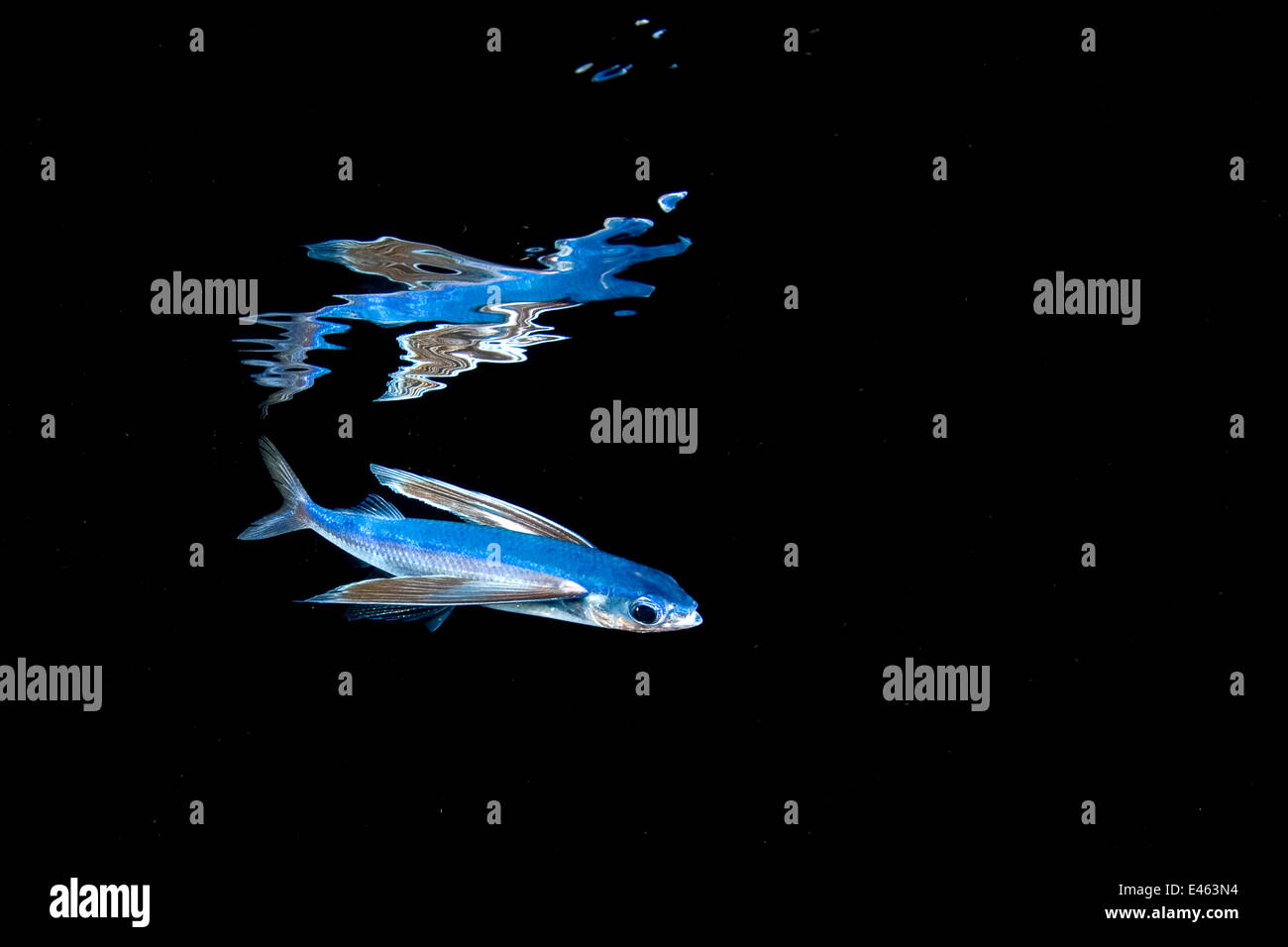 Mirrorwing flying fish (Hirundichthys speculiger) mirrored and swimming beneath the surface at night, between Bahamas Stock Photo