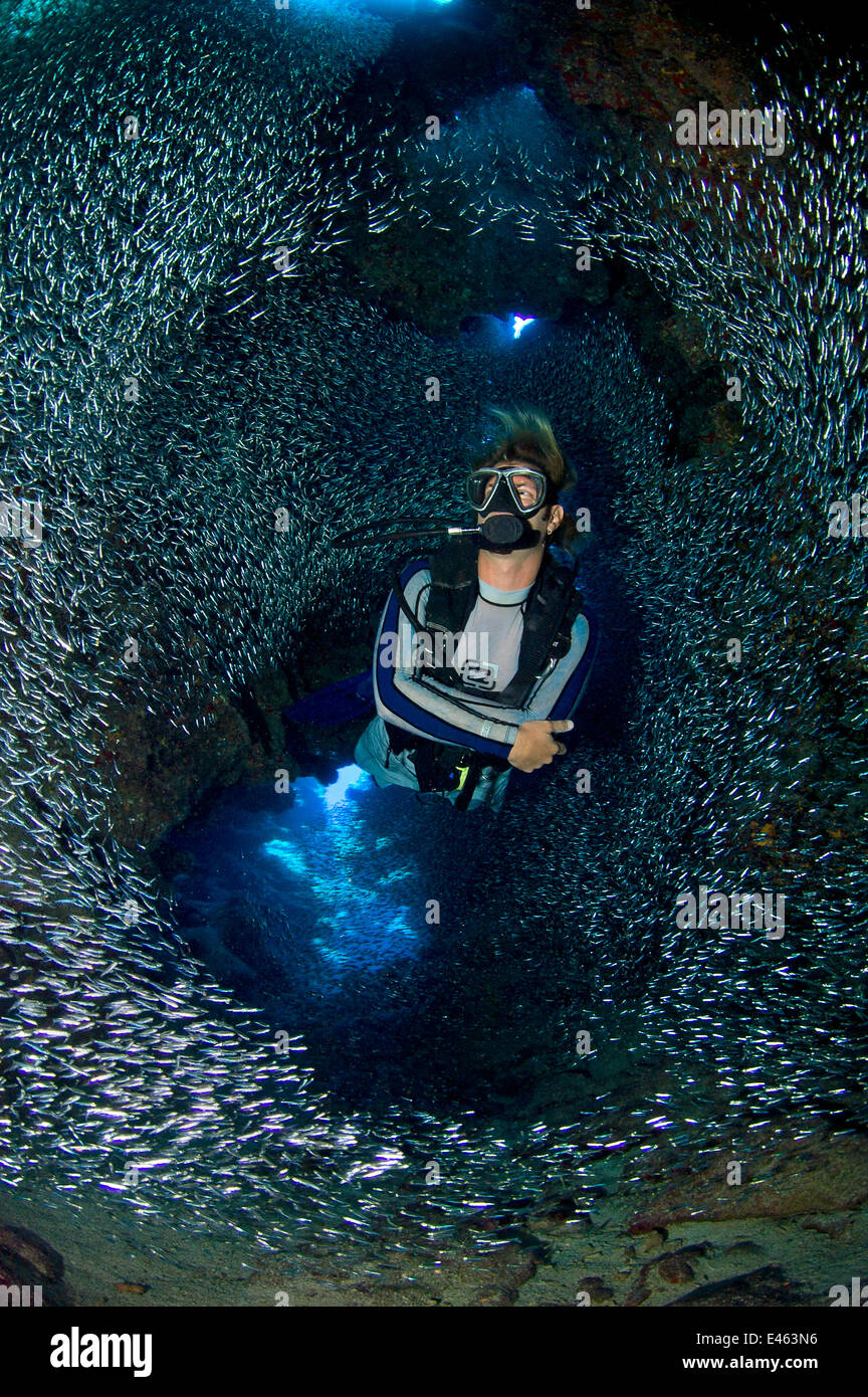Diver swimming through dense school of Silversides (Atherinidae)  inside a coral cavern, Grand Cayman, Cayman Islands, - Stock Image