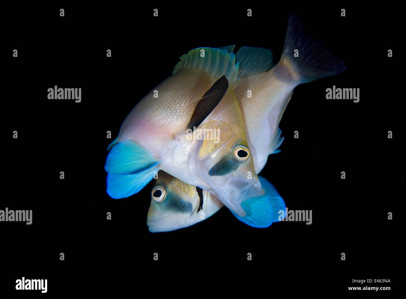 Butter hamlet (Hypoplectrus unicolor) pair spawning at dusk, George Town, Grand Cayman, Cayman Islands, British - Stock Image