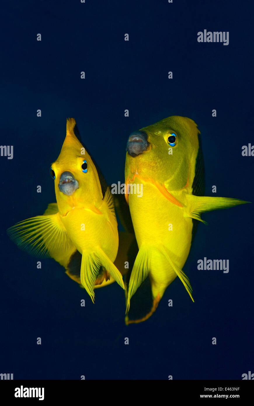 Rock beauty angelfish (Holacanthus tricolor) pair at dusk performing their courtship dance with the larger male - Stock Image