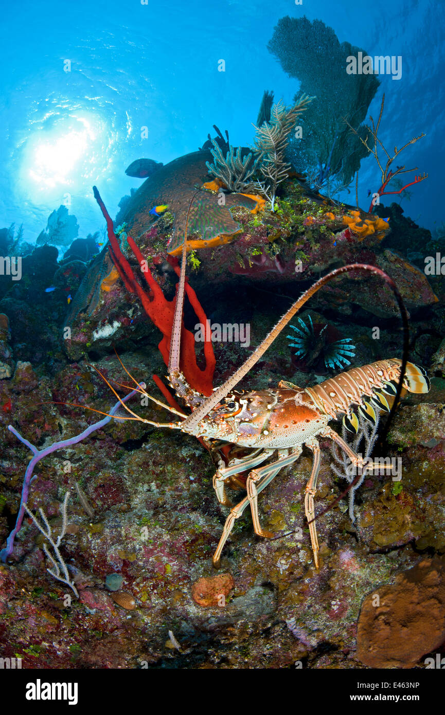 Caribbean spiny lobster (Panulirus argus) scampers across a coral reef amongst sponges, Bloody Bay Wall, Little - Stock Image