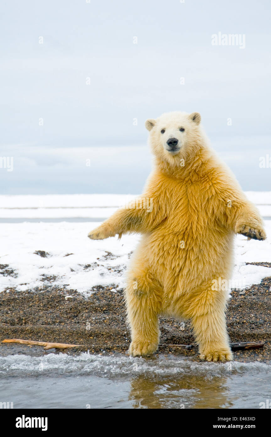 Young Polar bear (Ursus maritimus) standing and trying to balance in shallow water along the Bernard Spit, 1002 - Stock Image