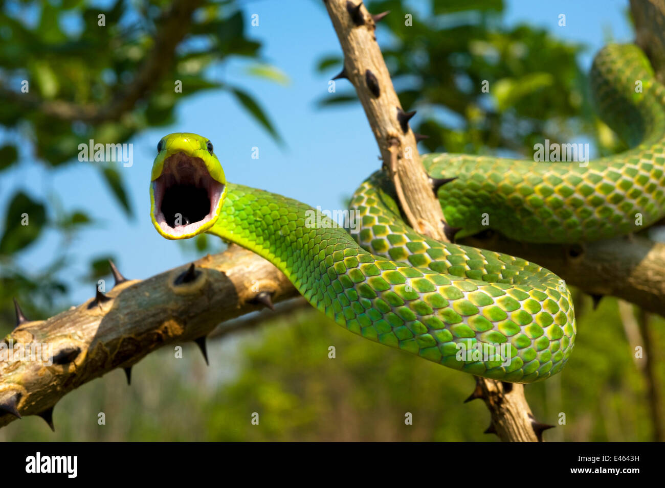 Green tree snake (Phyllodryas viridissima) on a branch about to stike, Bolivian Amazonia, controlled conditions Stock Photo