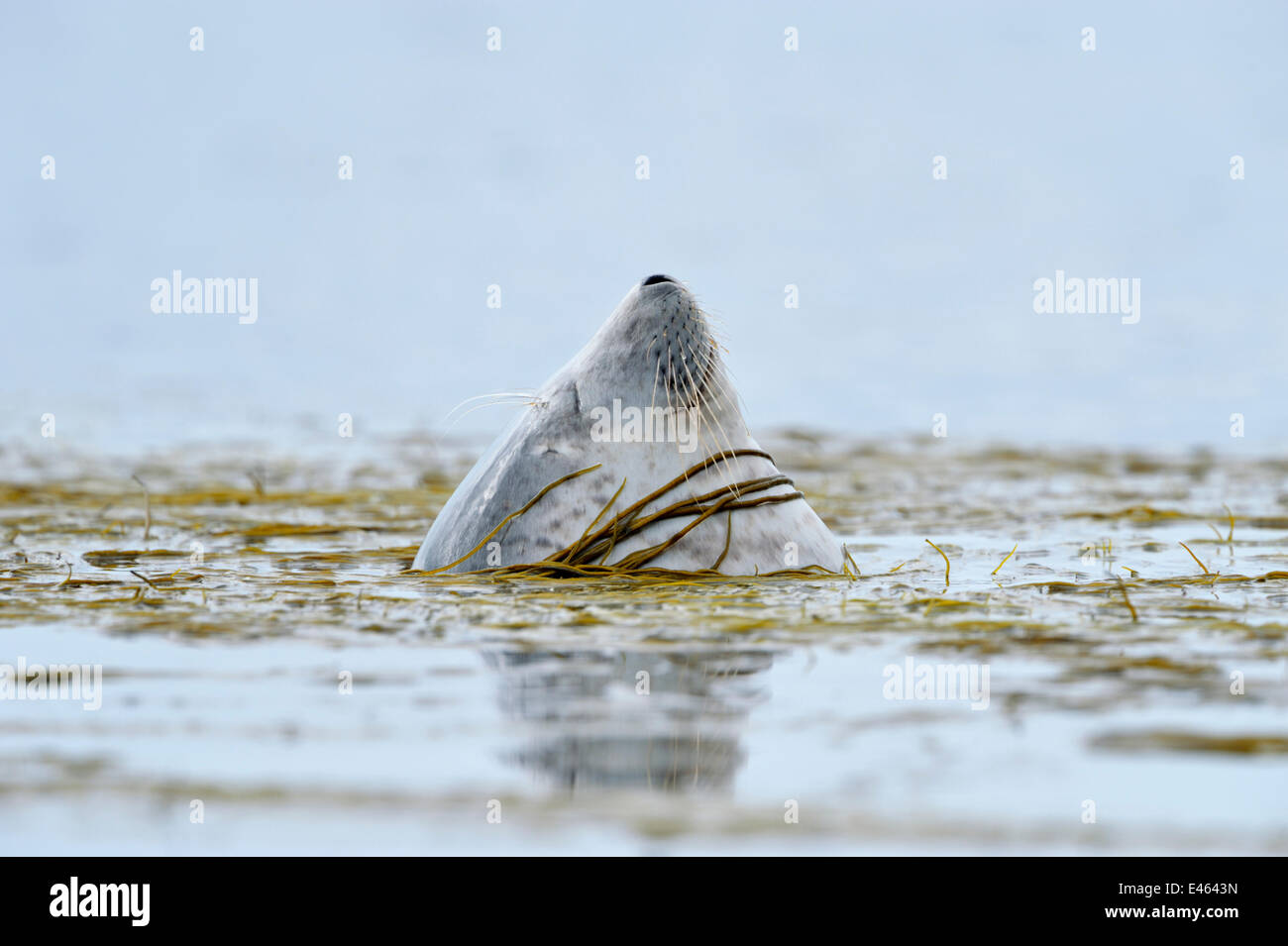 Common / Harbour Seal (Phoca vitulina) bottling / sleeping upright in water and moored in bed of sea thong weed, - Stock Image