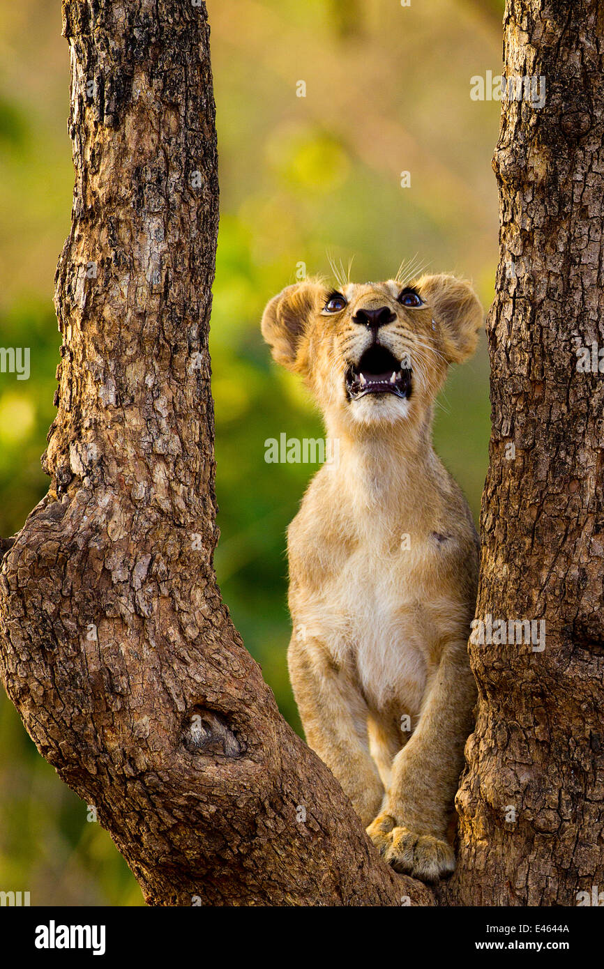 Asiatic lion cub (Panther leo persica) looking up into tree, possibly at a bird, Gir Forest NP, Gujarat, India - Stock Image