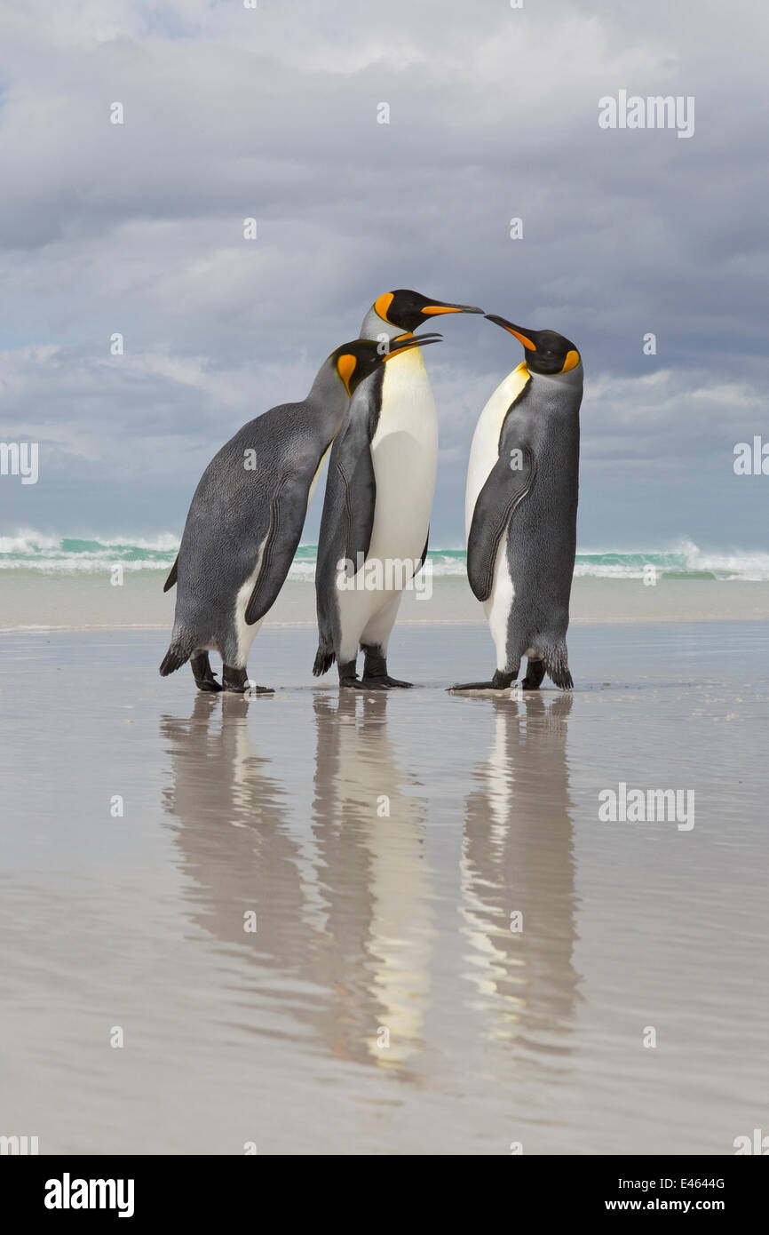 King Penguin (Aptenodytes patagonicus) dispute on beach, Volunteer Point, Falkland Islands, February - Stock Image
