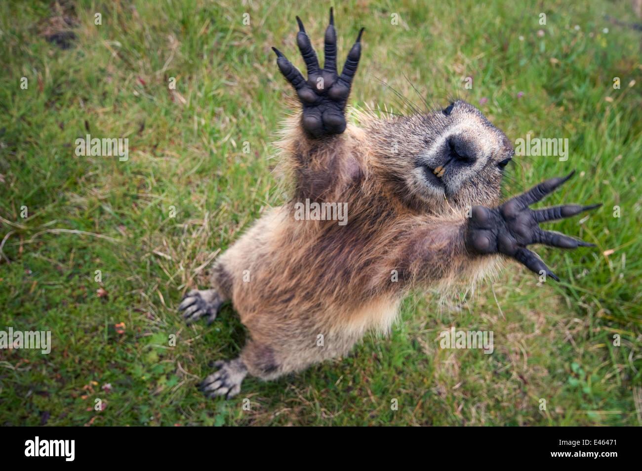 handsAlpine marmot (Marmota marmota) reching upwards, Hohe Tauern National Park, Austria, July - Stock Image