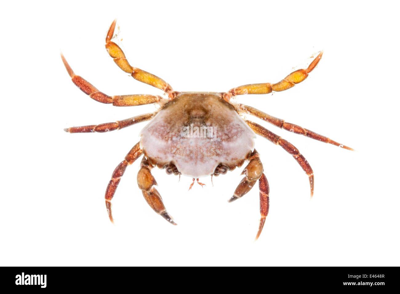 Shore Crab (Carcinus maenas) against white background. From the Isle of Skye, Inner Hebrides, Scotland, UK. Stock Photo