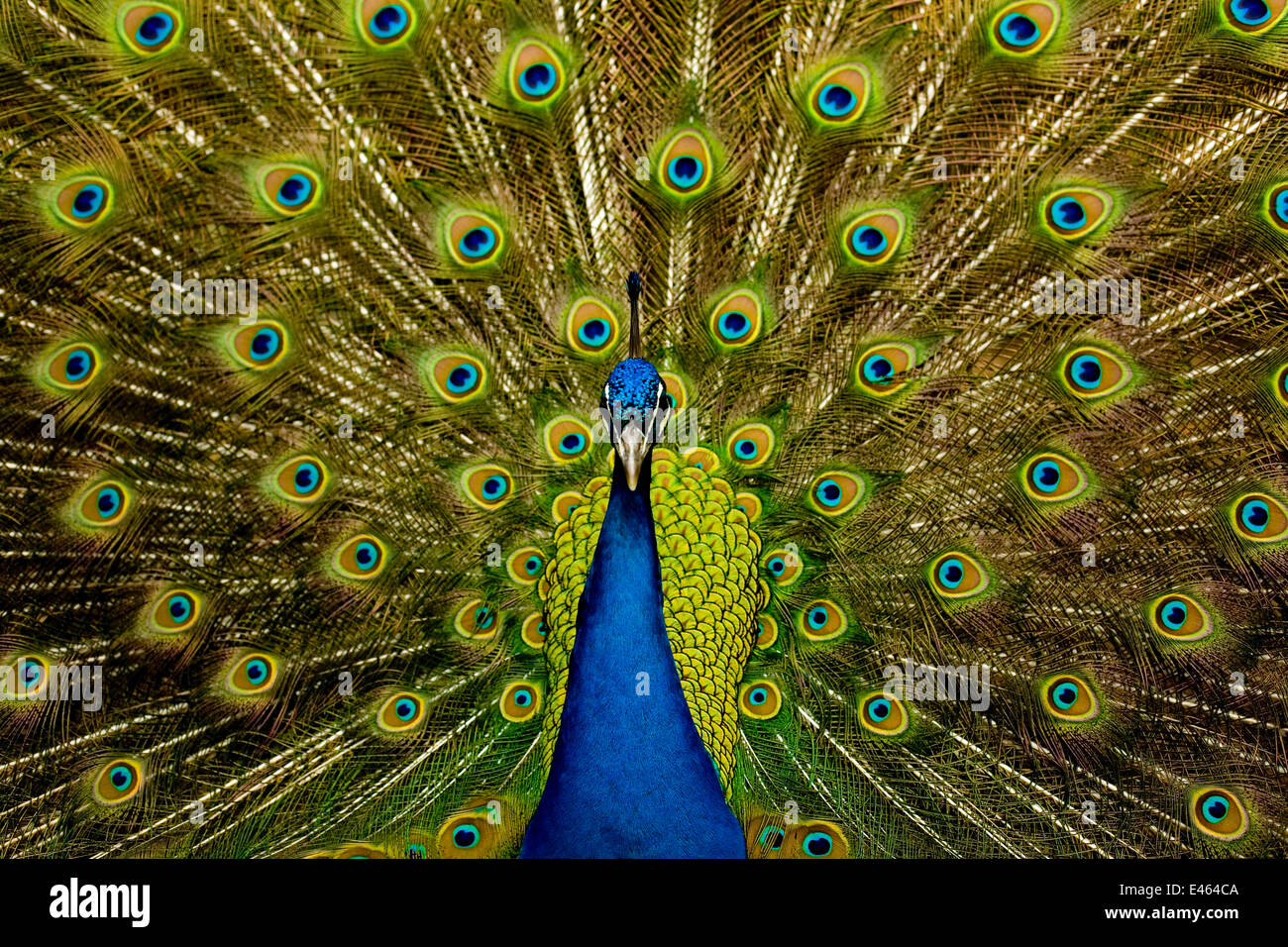Male peacock (Pavo cristatus) displaying his ocellated tail feathers. The peacock's tail, cumbersome and expensive - Stock Image
