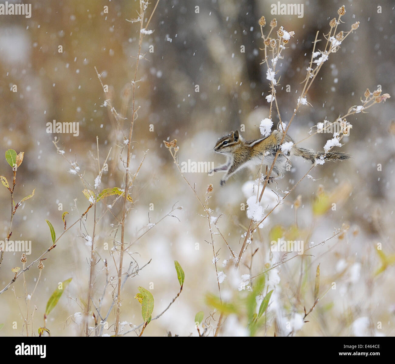 Least Chipmunk (Tamius minimus) feeding on the seeds of a thistle bush during a snowstorm, Grand Teton NP, Wyoming, - Stock Image