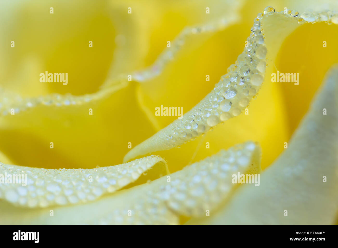 Yellow Rose With Water Drops: Beautiful Yellow Rose Water Drops Stock Photos & Beautiful