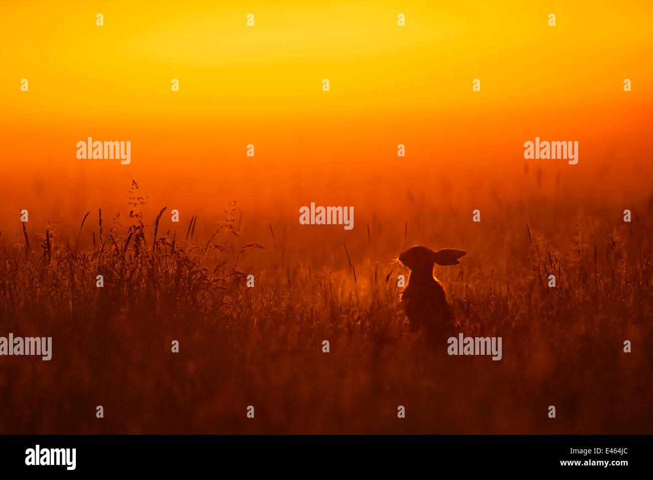 European hare (Lepus europaeus) silhouetted sitting in field at sunrise, UK, June - Stock Image