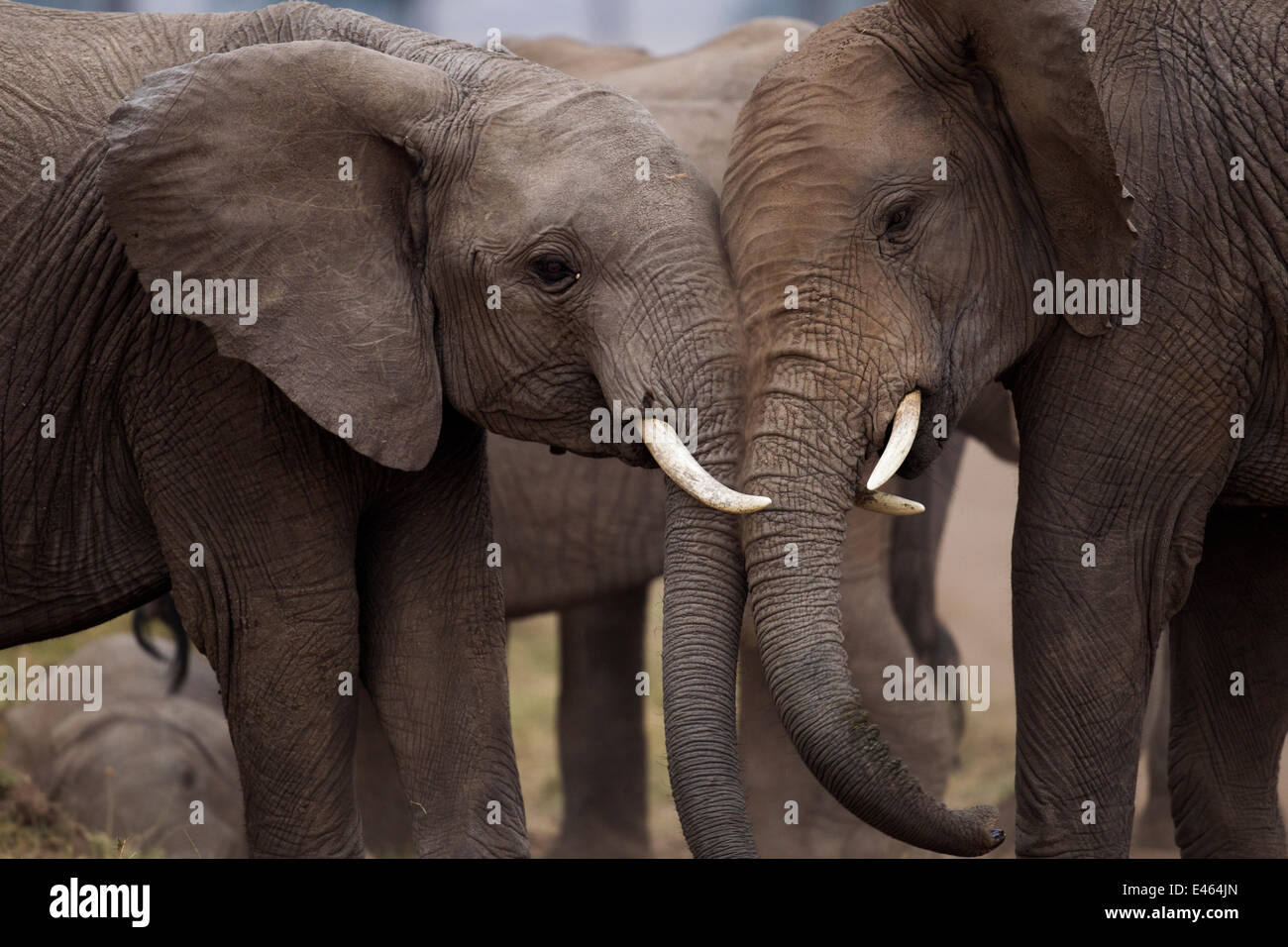 African elephants (Loxodonta africana) sparring, Masai Mara National Reserve, Kenya, August - Stock Image