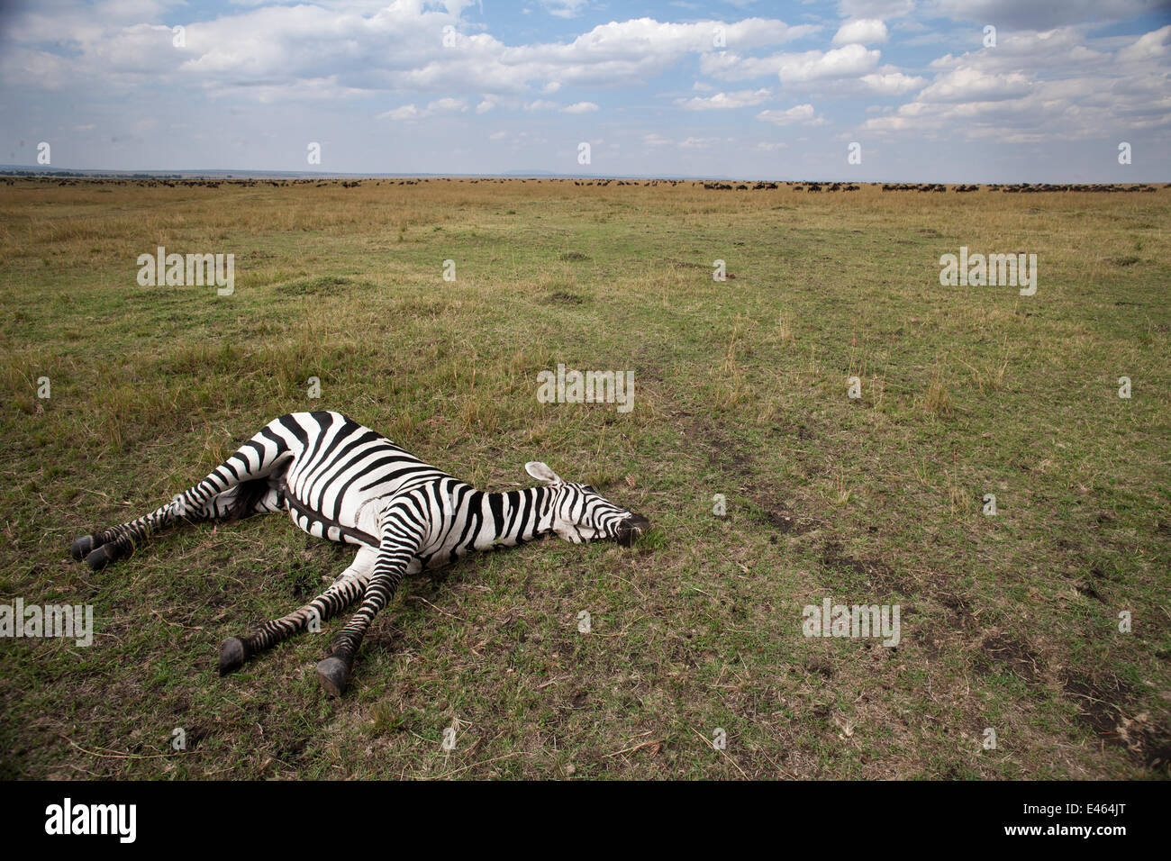 Common or Plains zebra (Equus quagga burchellii) lying dead on the savanna grassland, Masai Mara National Reserve, - Stock Image