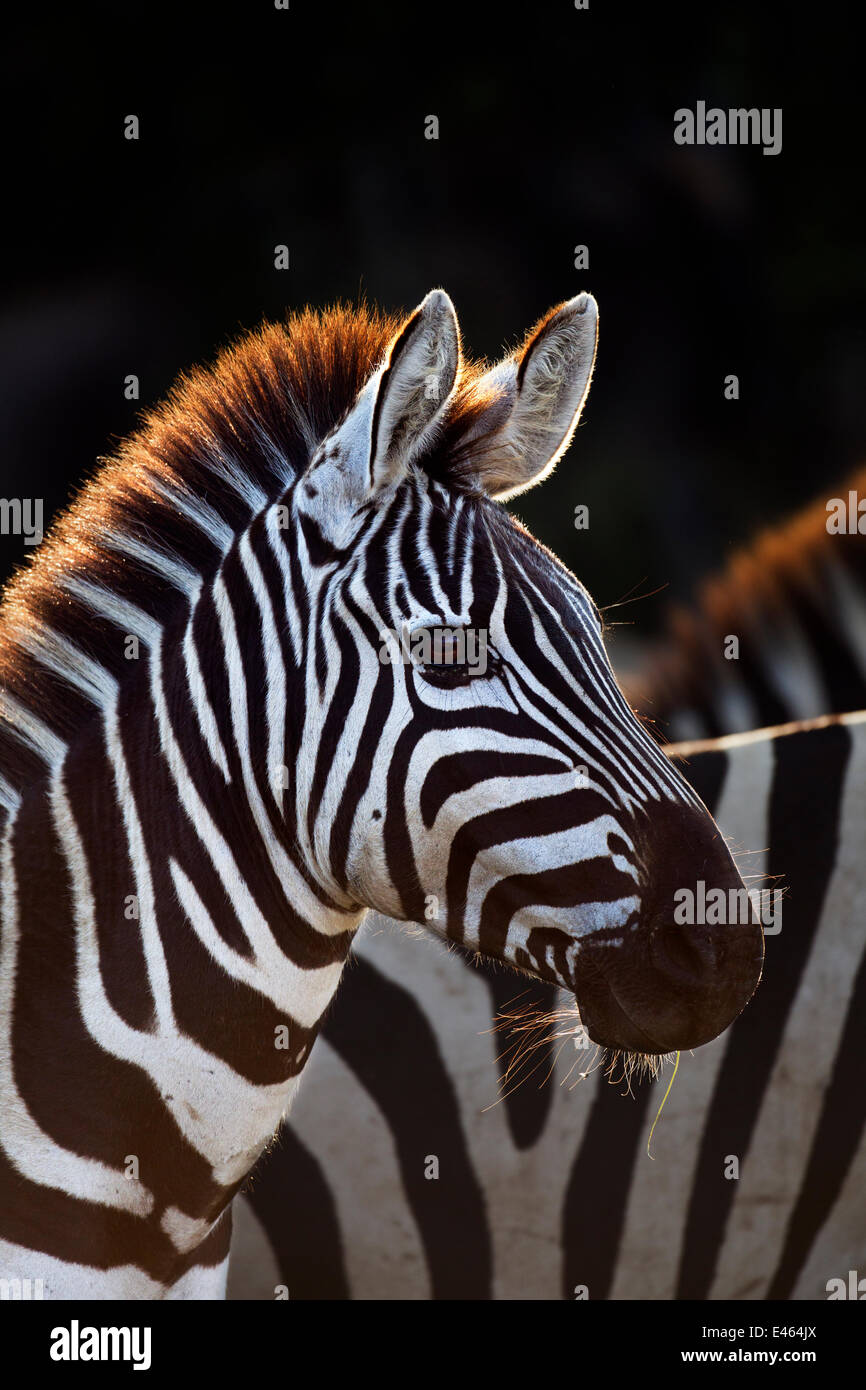 Common or Plains zebra (Equus quagga burchellii) Masai Mara National Reserve, Kenya, September - Stock Image