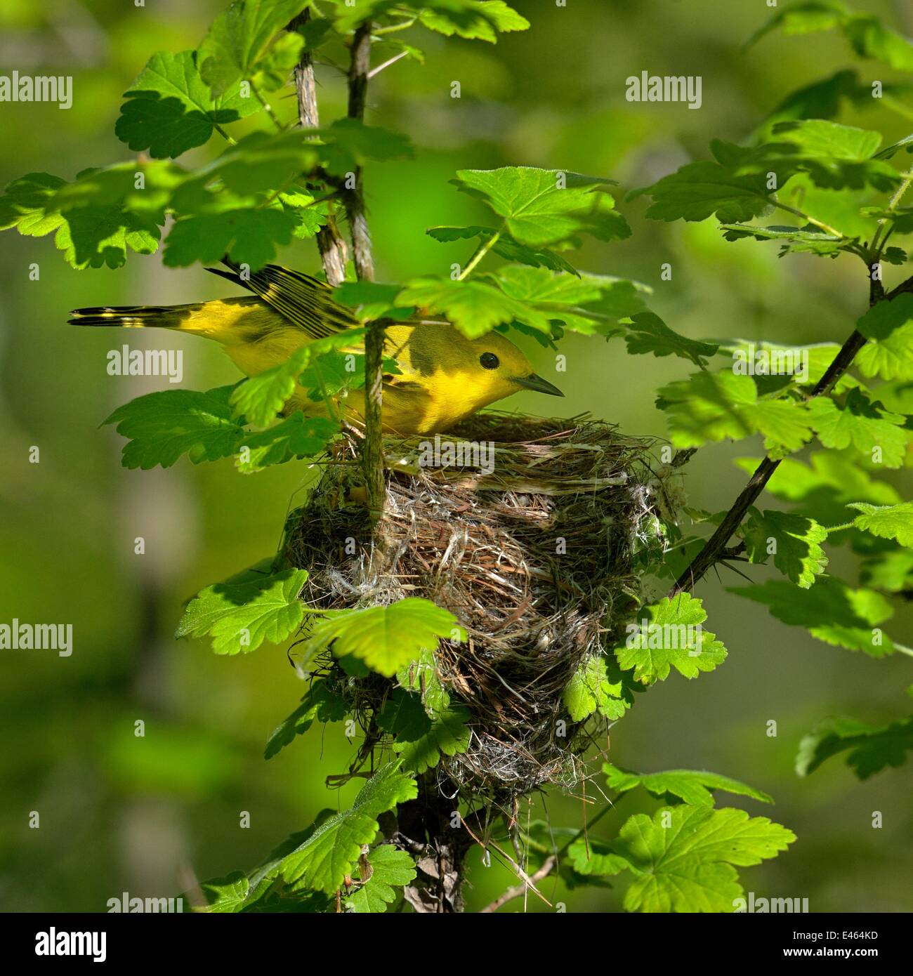 Yellow warbler (Dendroica petechia) at nest, Pointe Pelee, Ontario, Canada, May - Stock Image