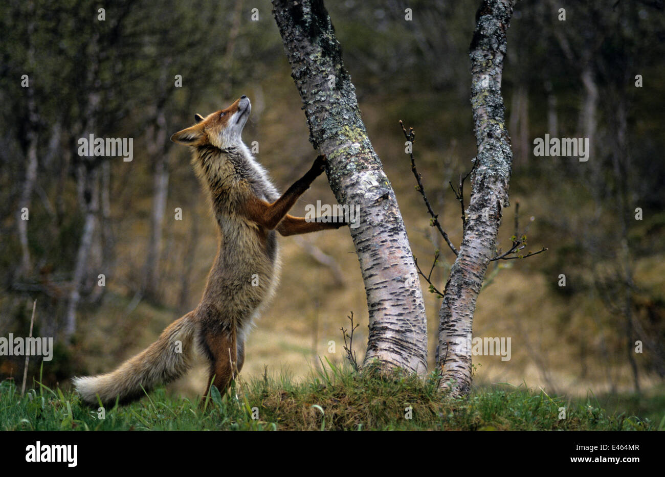 Red Fox Vulpes Vulpes Standing On Hind Legs With Front Paws On