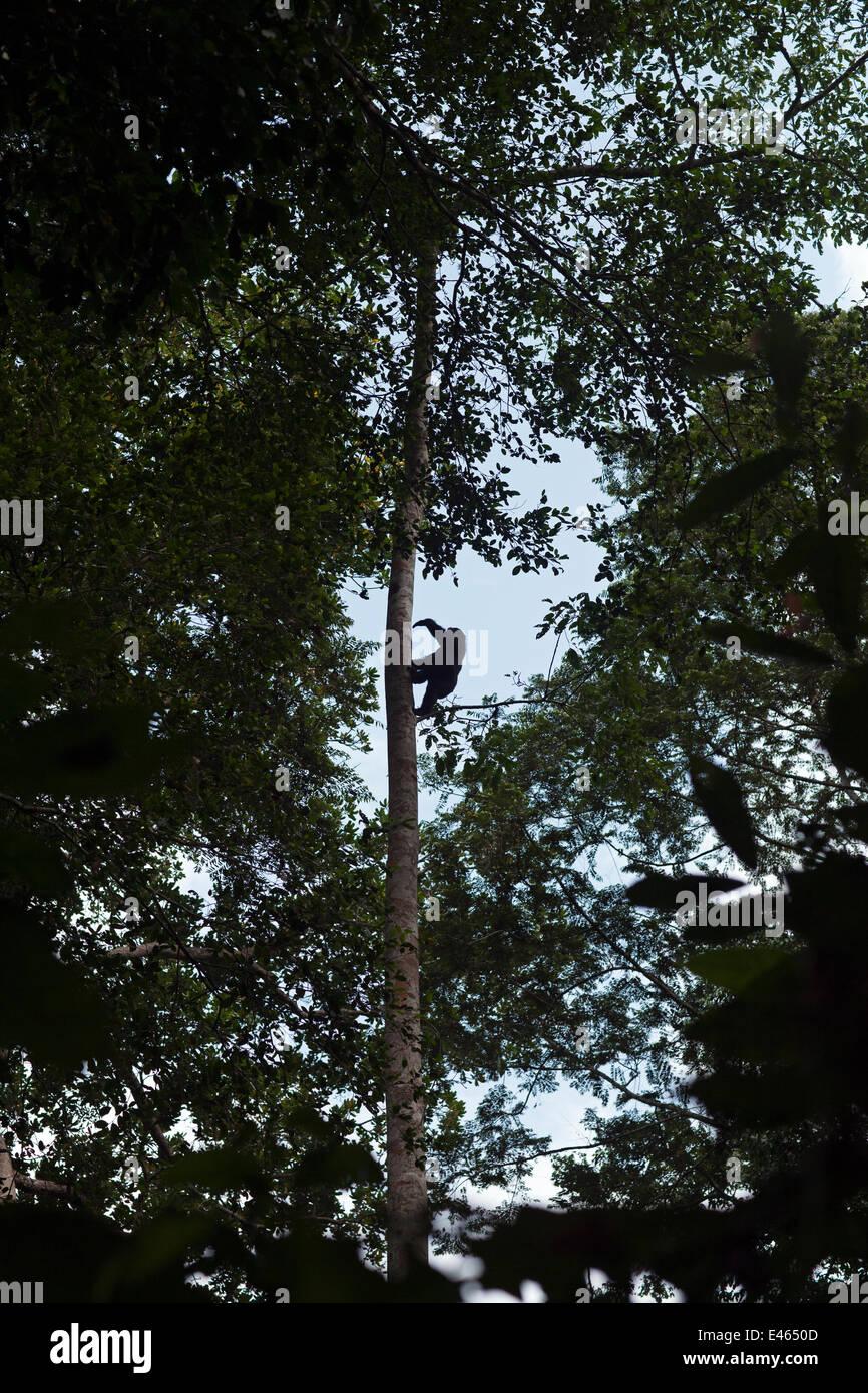 Western lowland gorilla (Gorilla gorilla gorilla) juvenile climbing up tall tree, Bai Hokou, Dzanga Sangha Special Stock Photo