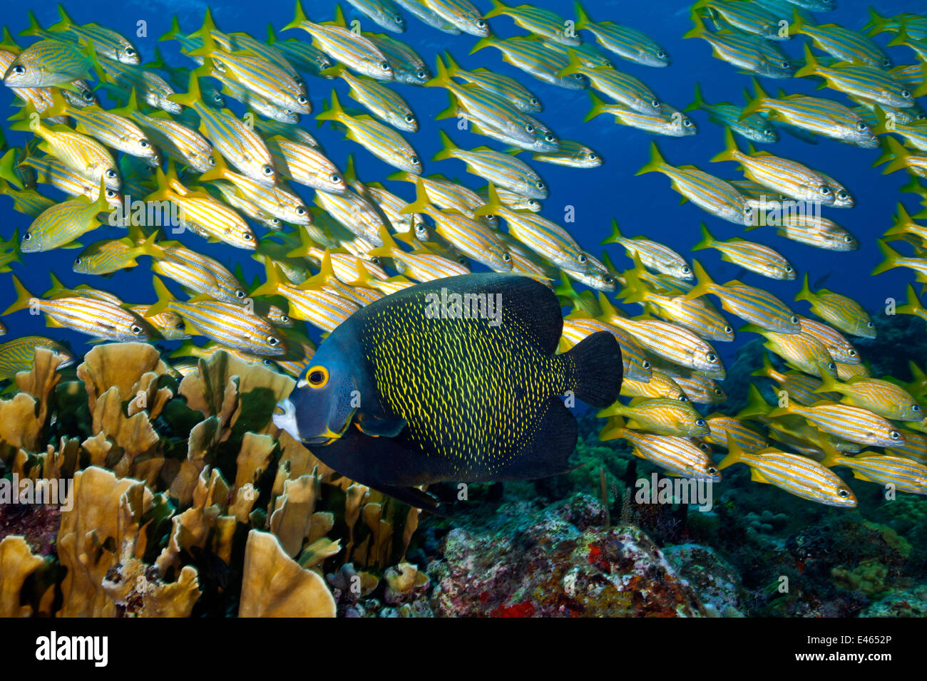 French Angelfish (Pomacanthus paru) with a Smallmouth Grunt (Haemulon chrysargyreum) and Blade Fire Coral (Millepora - Stock Image