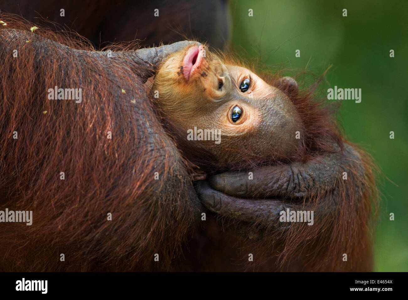 Bornean Orangutan (Pongo pygmaeus wurmbii) age 3-6 months being groomed by it's mother 'Gina'. Camp - Stock Image