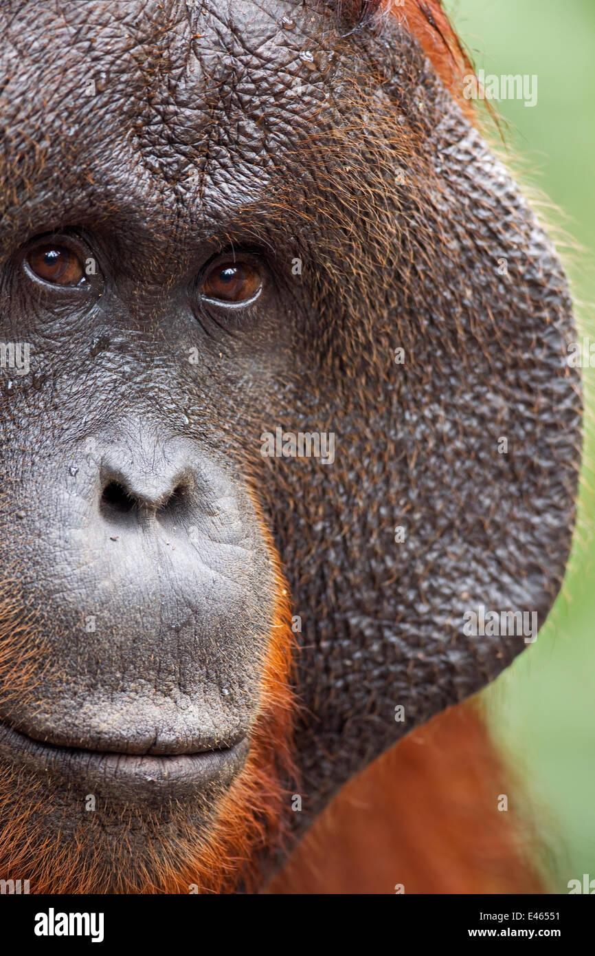 Bornean Orangutan (Pongo pygmaeus wurmbii) mature male 'Doyok' portrait. Pondok Tanggui, Tanjung Puting - Stock Image