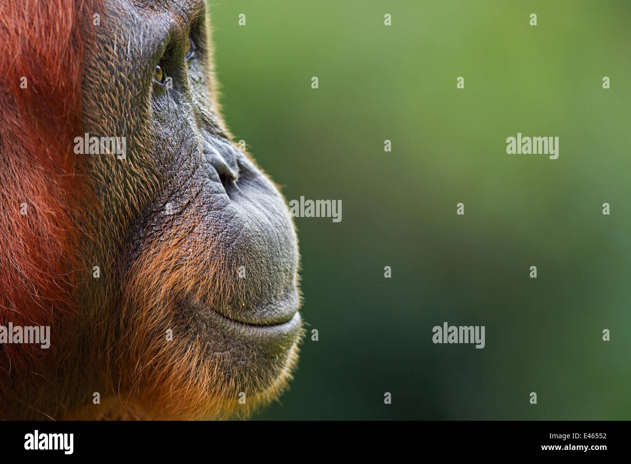 Bornean Orangutan (Pongo pygmaeus wurmbii) female 'Tutut' head portrait. Camp Leakey, Tanjung Puting National - Stock Image