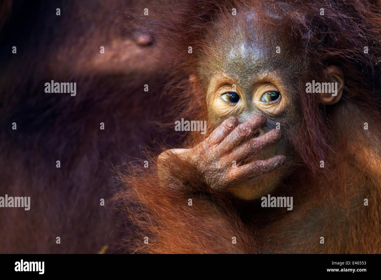 Bornean Orangutan (Pongo pygmaeus wurmbii) female baby 'Petra' aged 12 months. Camp Leakey, Tanjung Puting - Stock Image