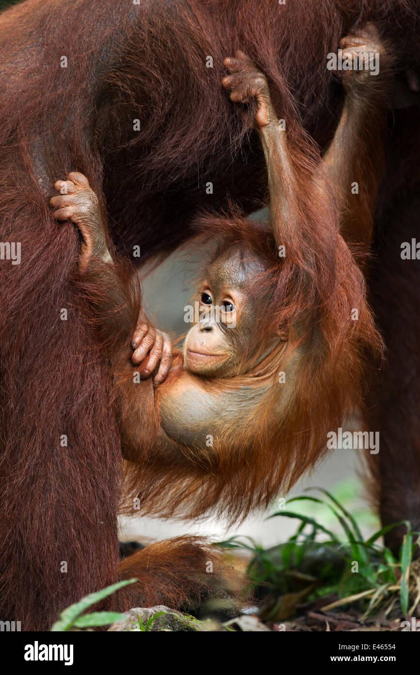 Bornean Orangutan (Pongo pygmaeus wurmbii) male baby 'Thor' aged 8-9 months hanging from his mother. Camp - Stock Image