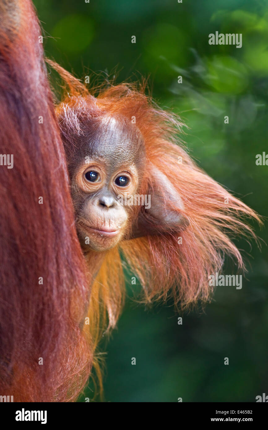 Bornean Orangutan (Pongo pygmaeus wurmbii) male baby 'Thor' aged 8-9 months peering from behind his mother. - Stock Image